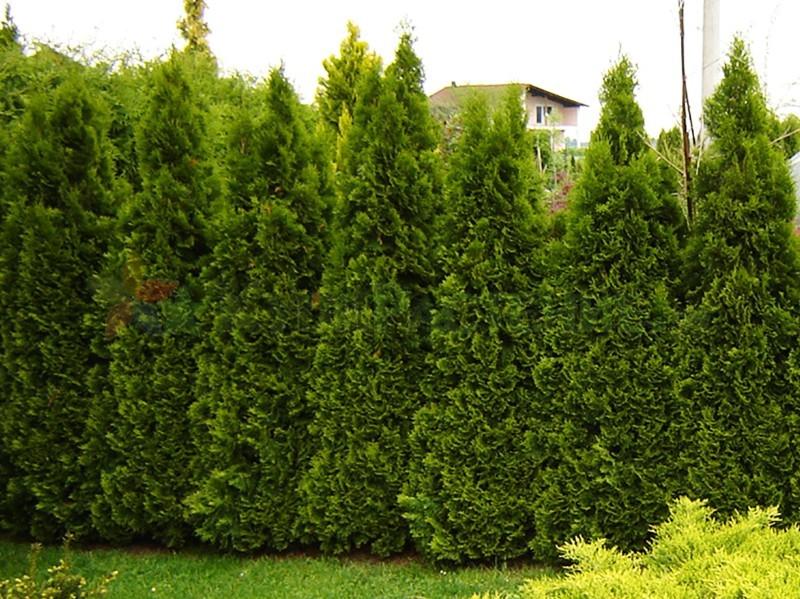 Туя западная Смарагд (thuja occidentalis smaragd)