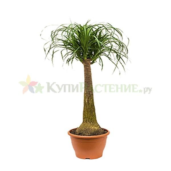 Нолина - Бутылочное дерево (nolina)