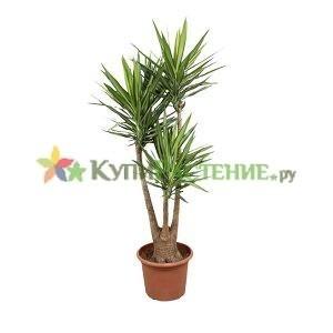 Юкка разветвленная (yucca gigantea)