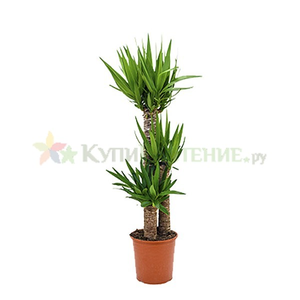 Юкка (yucca)